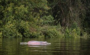 Pink dolphin in Zacambu lakes tour